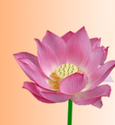 Lotus, National Flower of India