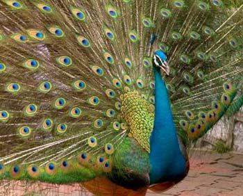Indian National Bird