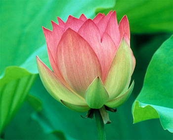 Flower of india lotus the glory of being the national flower of india